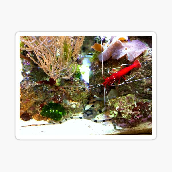 Red Fire Shrimp Sticker