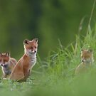 Red foxes  by Remo Savisaar