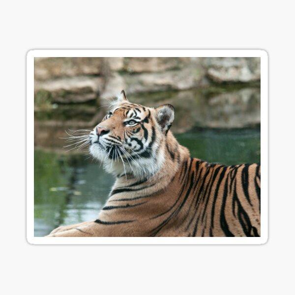 Tiger Photography Sticker