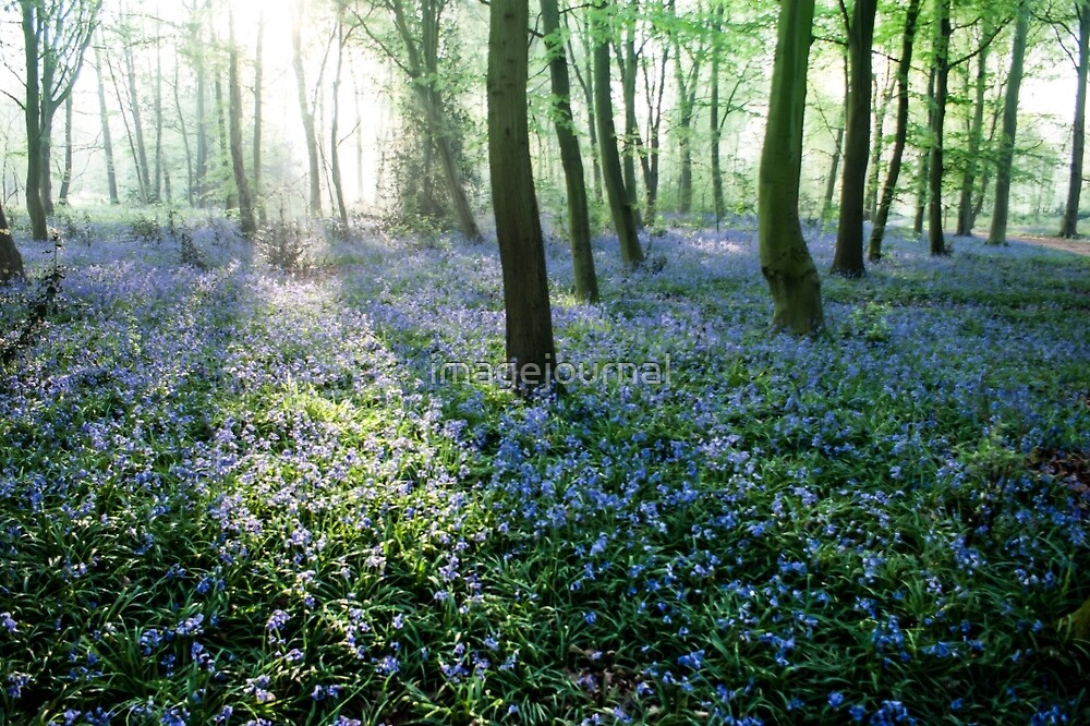 Ray of Bluebells by imagejournal