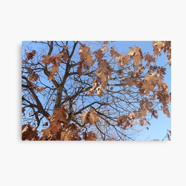Dry autumn leaves on the tree Metal Print