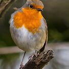 Robin Red Breast by M S Photography/Art