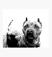 Pitbull Dog Photographic Print