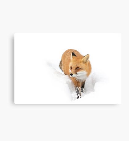 Red fox - Algonquin Park Canvas Print