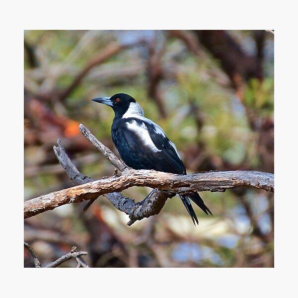 Australian Magpie by David Irwin Photographic Print