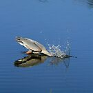 Great Blue Heron Making A Splash by DARRIN ALDRIDGE