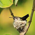 Hummingbird Sitting On Eggs by DARRIN ALDRIDGE