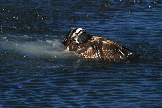 Osprey Goes For A Swim by DARRIN ALDRIDGE