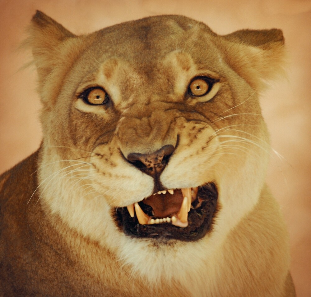 Quot Angry Lioness Quot By Roger Smith Redbubble