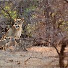LAST LIGHT MOTHER AND CUBS - THE LION – Panthera leo by Magriet Meintjes