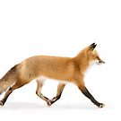 Red Fox Walk- Algonquin Park by Jim Cumming