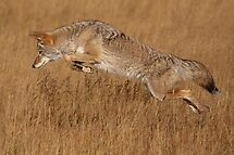 Coyote in Flight by WorldDesign