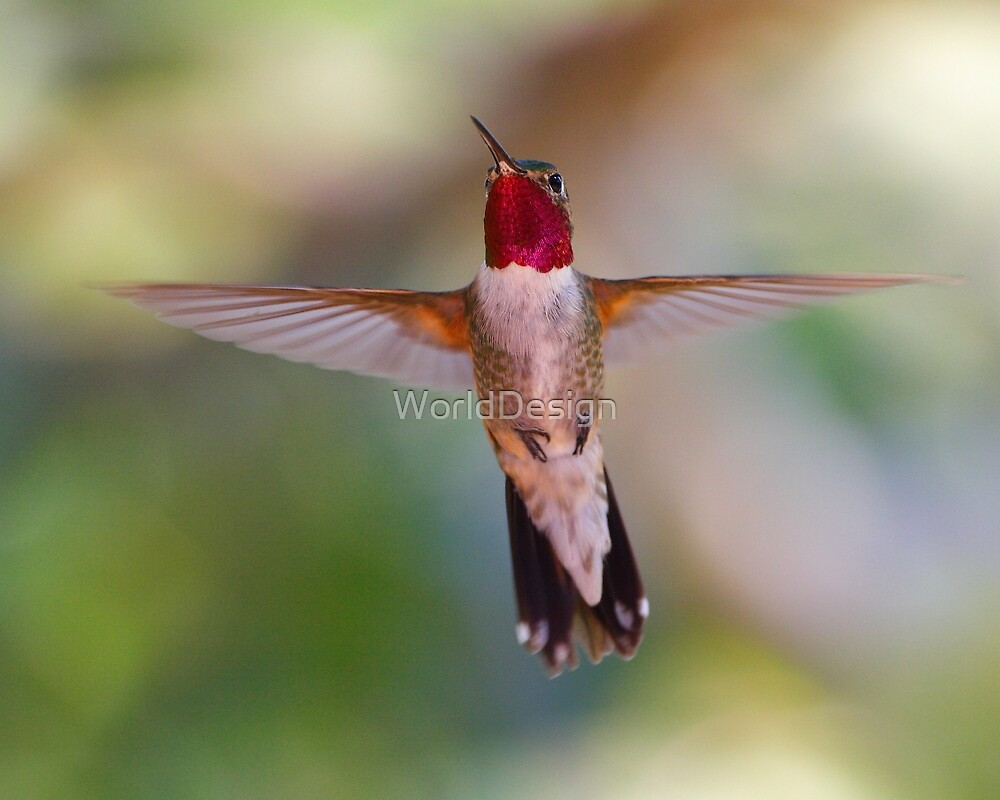 Broad-tailed Hummingbird in Flight by WorldDesign