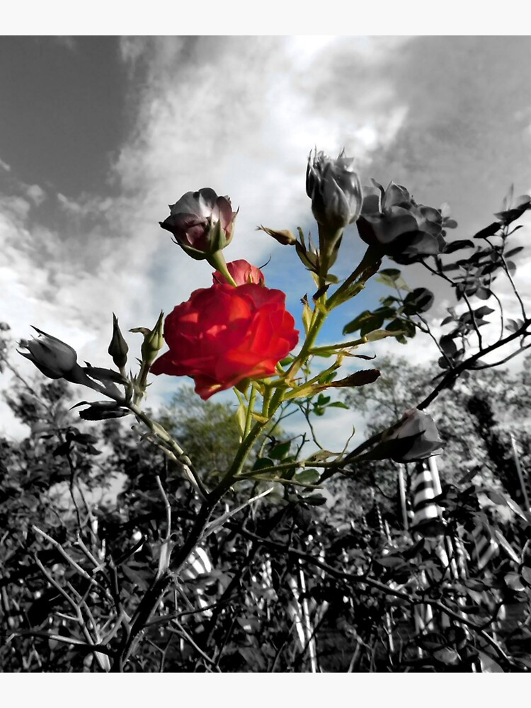 Red Rose with Black and White American Flag Nature Background  by kgerstorff
