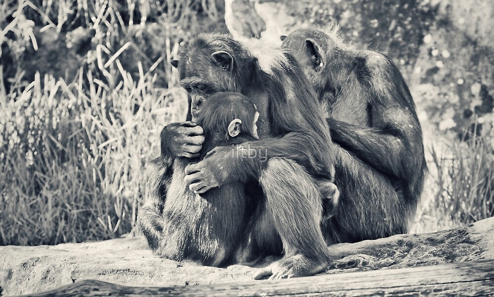 Chimpanzee Cuddles by iltby