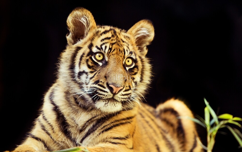 Young Stripes by iltby