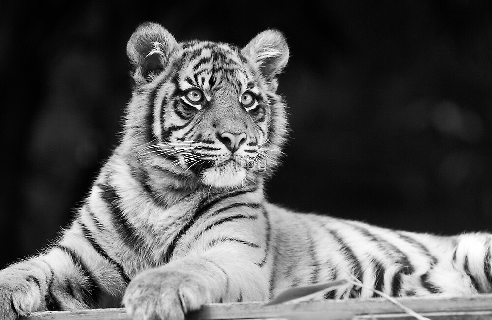 Young Stripes II by iltby