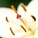 Proud Lily IV by Josie Eldred