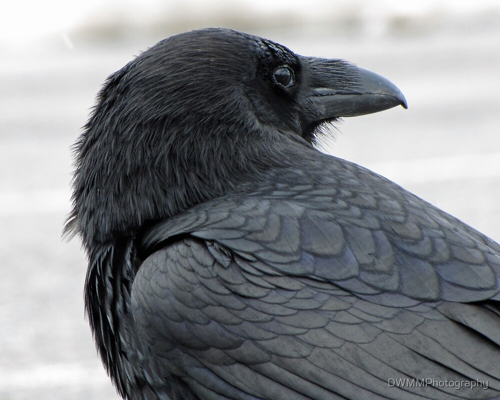 Raven Looking Back by DWMMPhotography