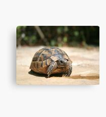 Young Tortoise Emerging From Its Shell Canvas Print