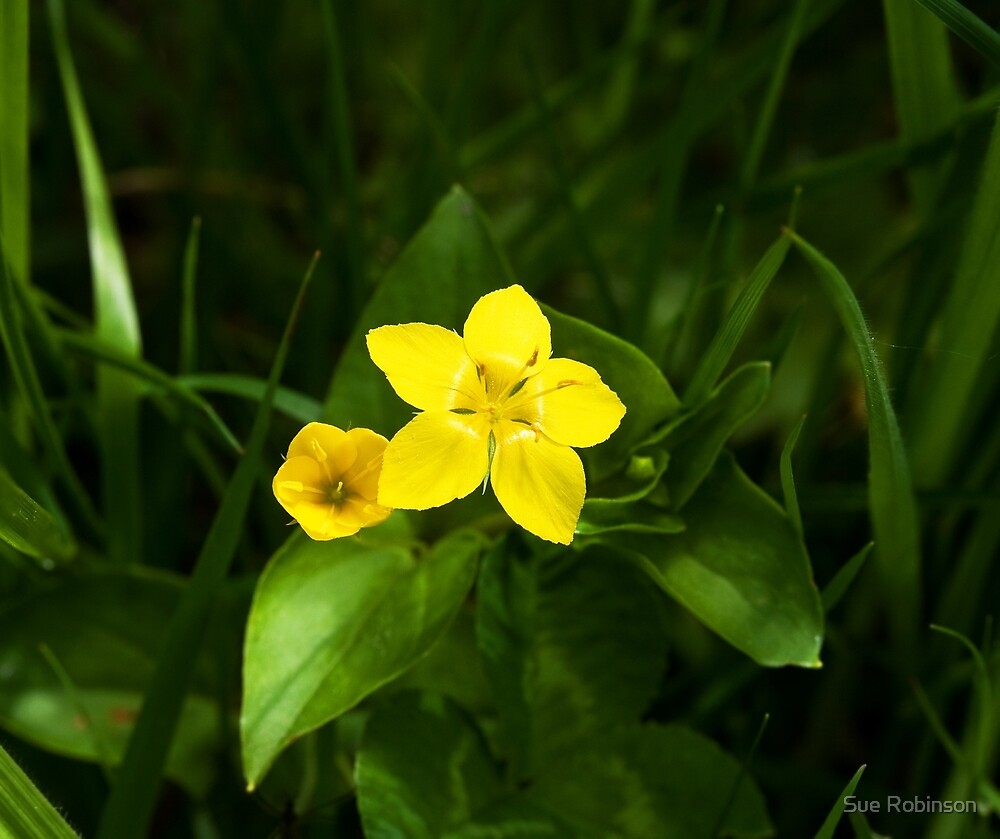 Yellow Pimpernel by Sue Robinson