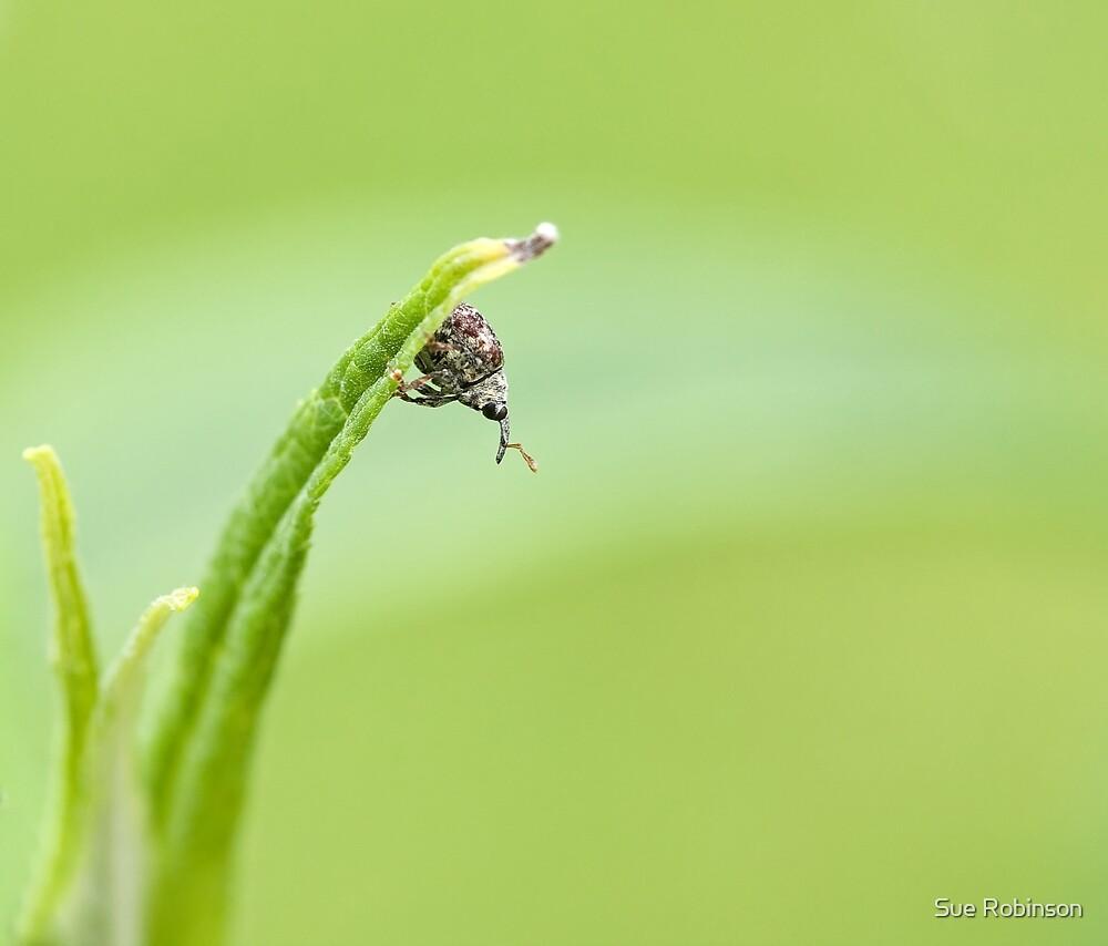 Cionus hortulanus weevil looking down by Sue Robinson