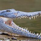 Crocodile by mncphotography