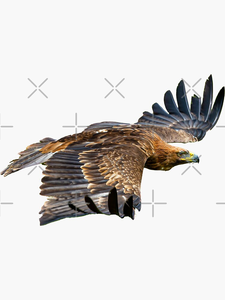 Golden  Eagle on the wing  by Dalyn