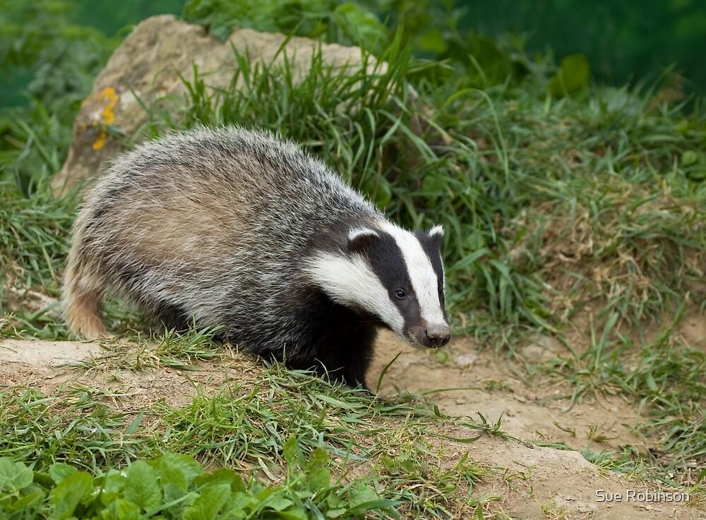 European Badger cub by Sue Robinson