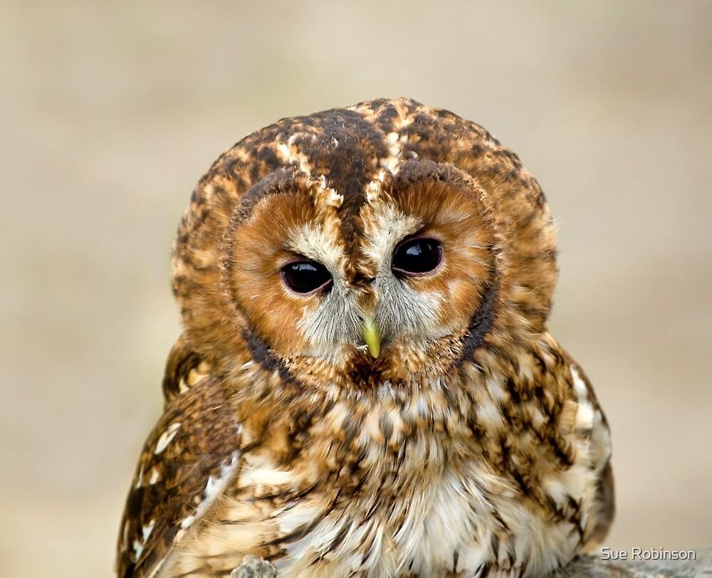 Tawny Owl head shot by Sue Robinson
