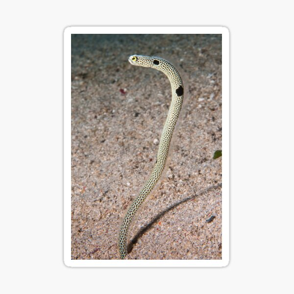 Spotted Garden Eel, North Sulawesi, Indonesia Sticker