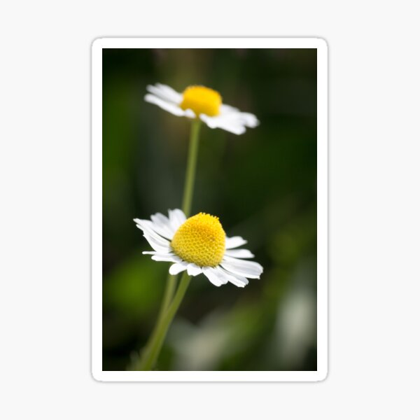 A Pair of daisy flowers Sticker