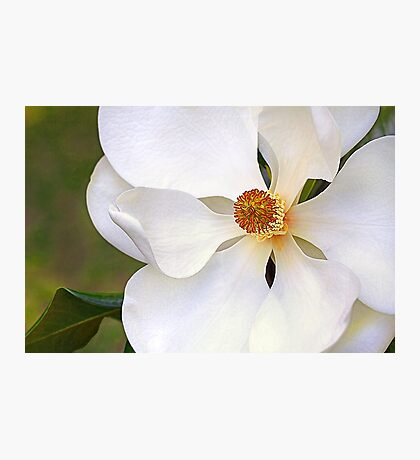 Southern Magnolia 2 Photographic Print