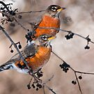 American Robins by Michael Cummings