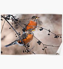American Robins Poster