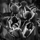 Tulips in Mono by Colin Metcalf