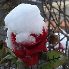 Snow Covered Rose, Jersey City, New Jersey by lenspiro