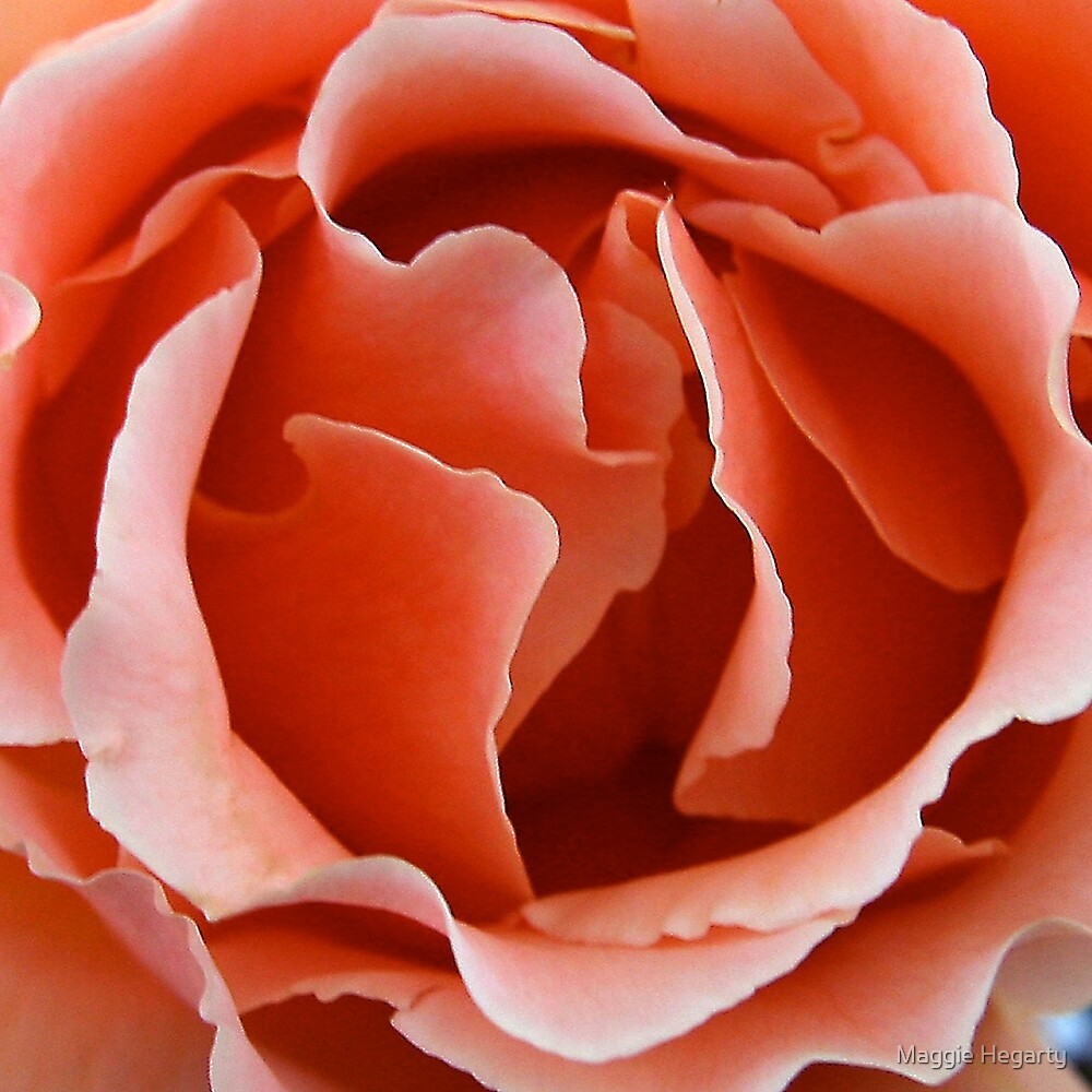 Apricot blush by Maggie Hegarty