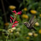 Anna's hummingbird and penstemon by Celeste Mookherjee