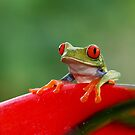Red-eyed Tree Frog - Costa Rica by Jim Cumming