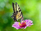 Tiger Swallowtail Butterfly by FrankieCat