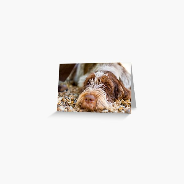 Lying down Spinone Greeting Card