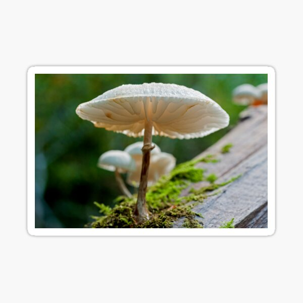 A beautiful and delicate looking Porcelain Toadstool photographed from underneath.  Sticker