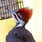 Pileated Woodpecker by Robert H Carney