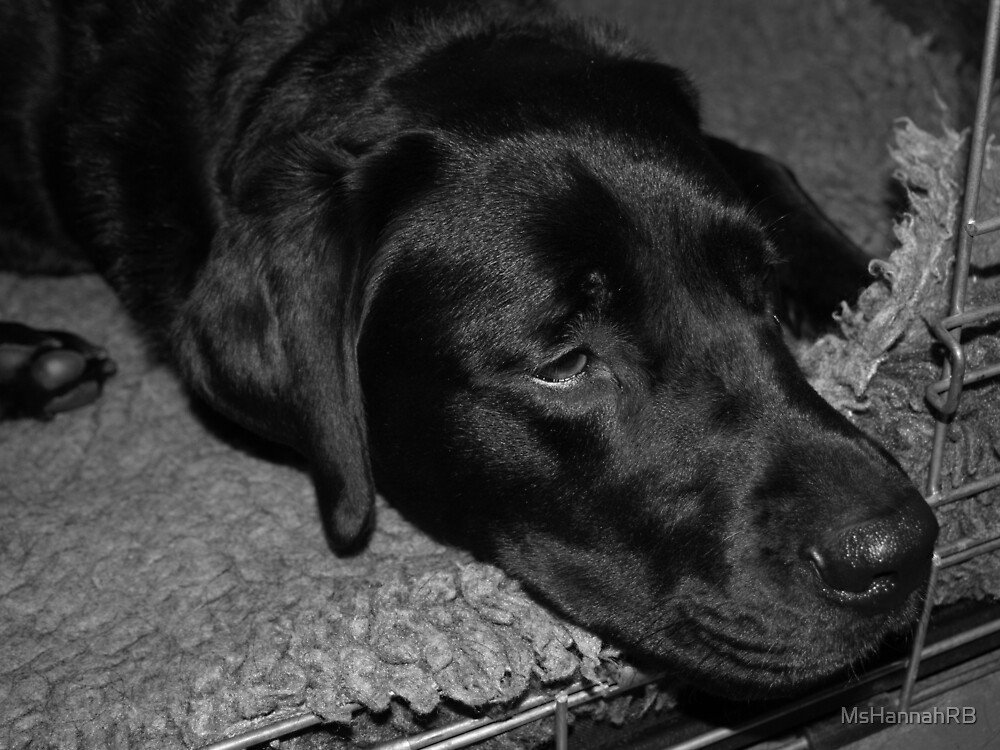 Quot Sleeping Black Labrador Quot By Mshannahrb Redbubble