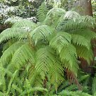 Beautiful Native Ferns gracing my cousins garden. St. Ives. Sydney. by Rita Blom