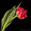 Tulipe Rouge by Wendi Donaldson Laird