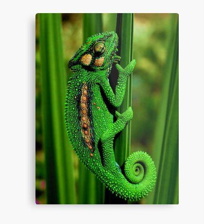 Cape Dwarf Chameleon II Metal Print