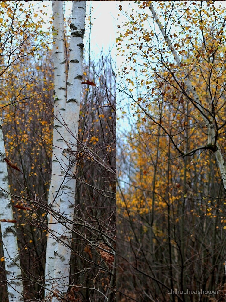 Birch Trees in the Autumn by chihuahuashower