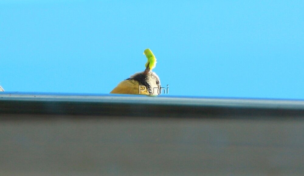 With a caterpillar in her beak to feed her newly hatched chics, which are nesting in my window eves by Penni